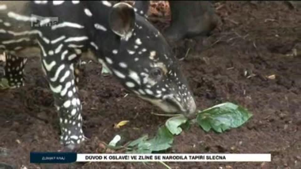 Důvod k oslavě! Ve Zlíně se narodila tapíří slečna