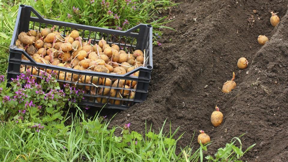 Výsadba brambor