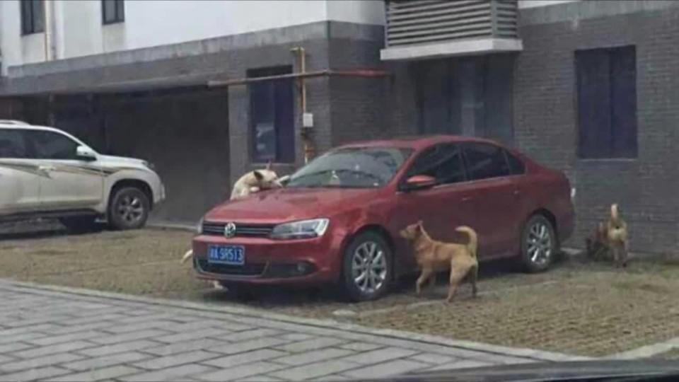 Divocí psi se pomstili na autě