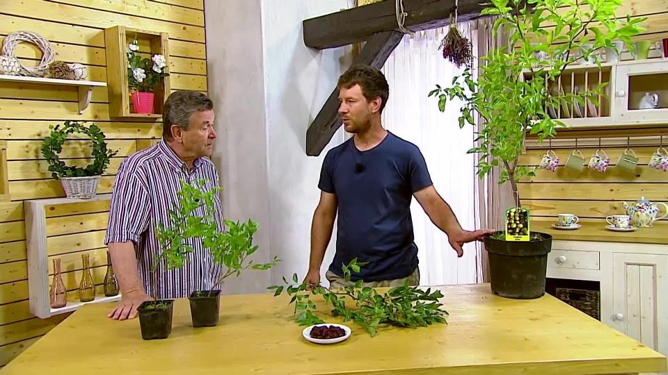 Jak pěstovat cicimek datlový