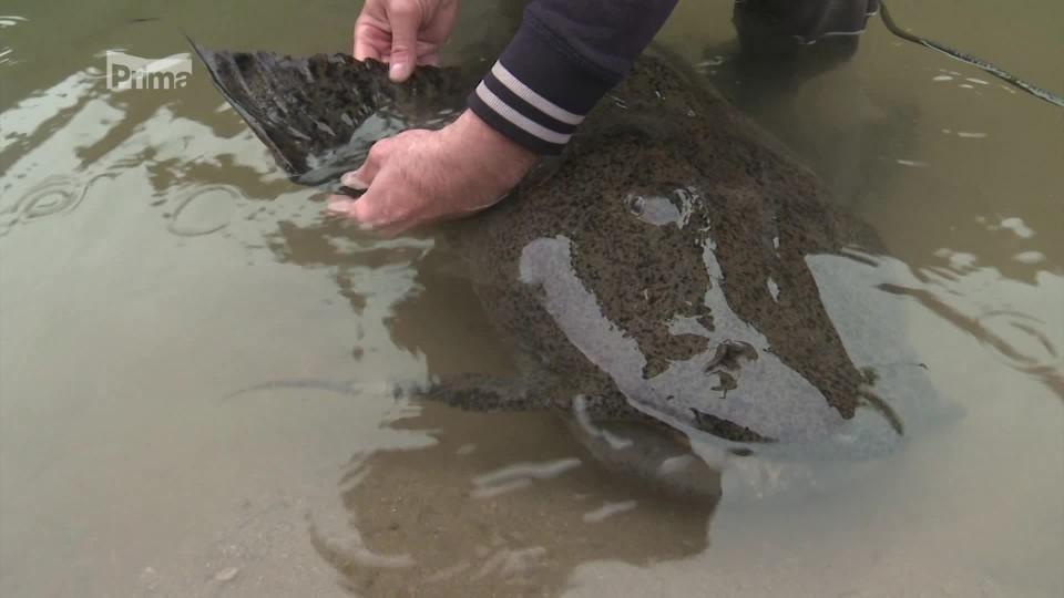 Legendární ryby 12 - lidožravý sumec