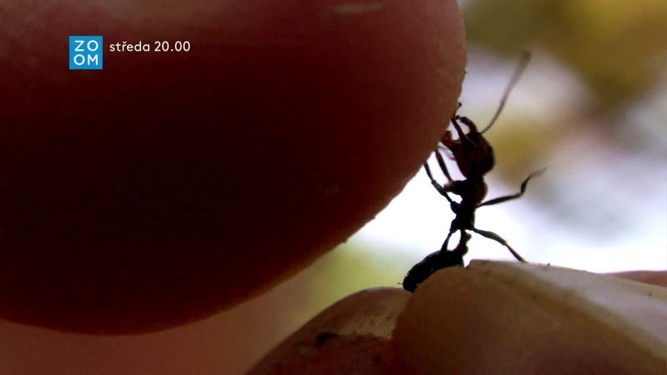 Prima ZOOM mravenci - upoutávka