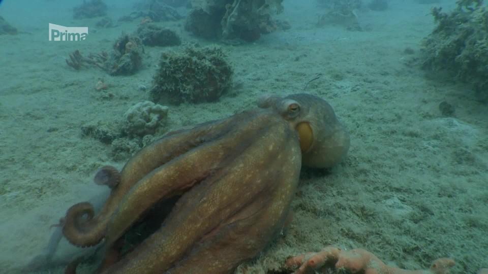 Podmořské poklady Nového Zélandu 1 - chobotnice