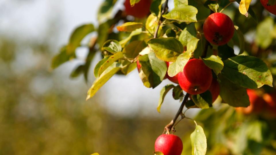 Jak na bohatou úrodu jablek
