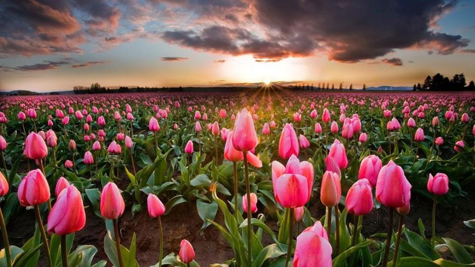 Novinky mezi tulipány