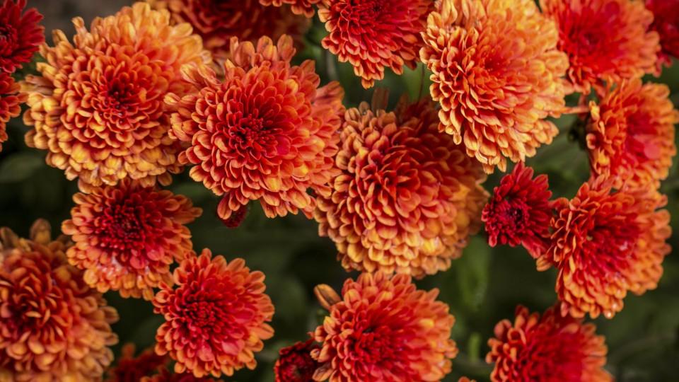 Krása chryzantém