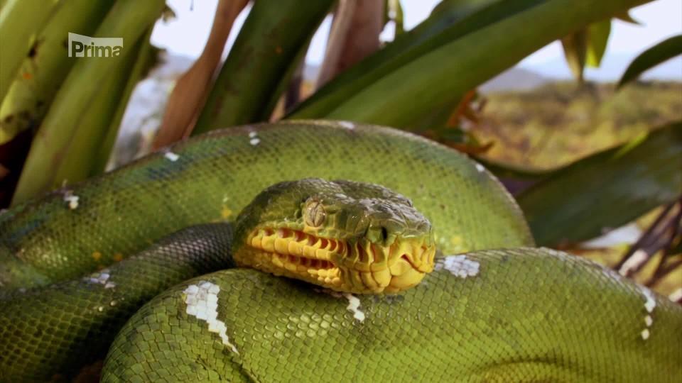 Anakonda_Tichý zabiják - psohlavec zelený