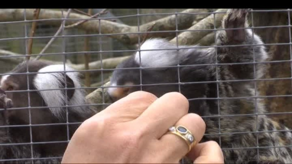 SVĚT: Opice a lidoopi - domácí i nechtění