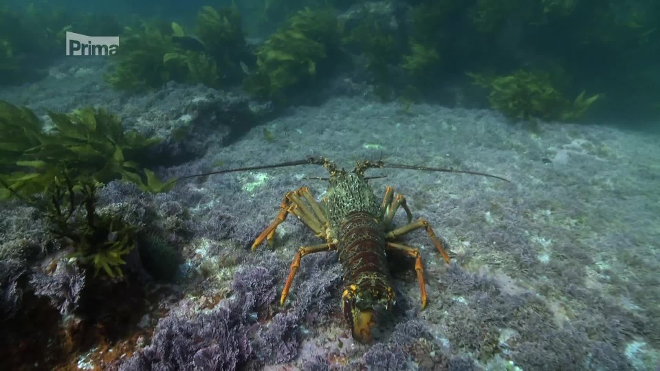 Podmořské poklady Nového Zélandu 2 - langusty