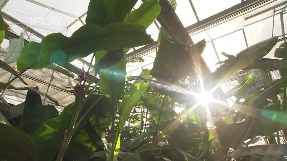 Pěstujeme doma banány