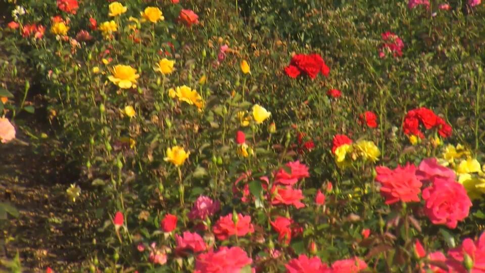 Podzimní výsadba růží