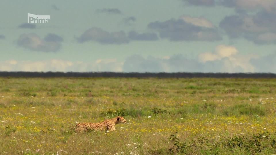 Hra o život 2 - útok gepardí samice