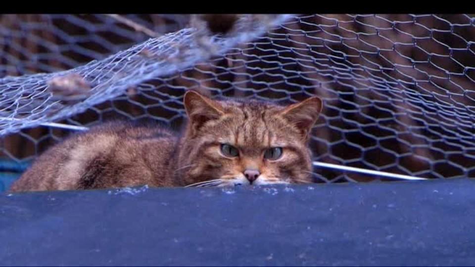 SVĚT: Britské divoké kočky