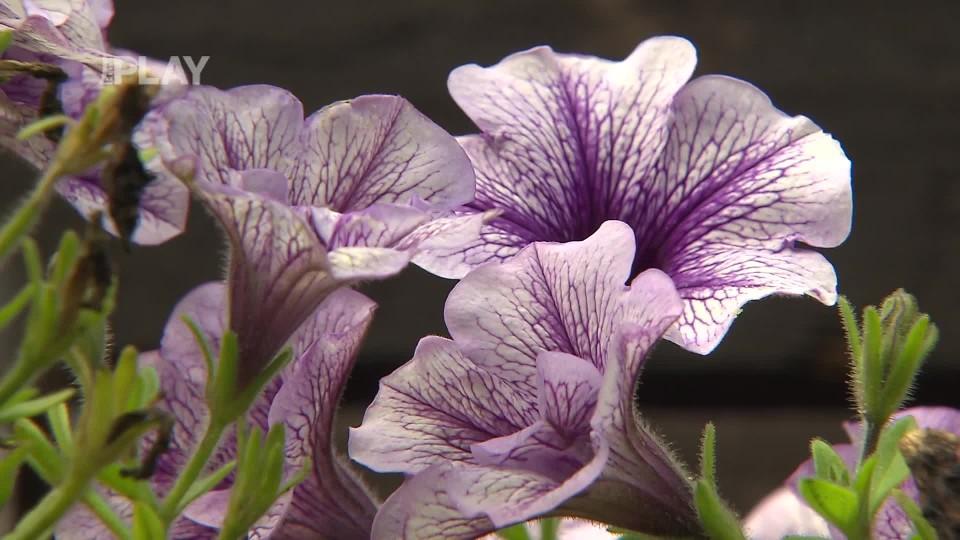 Zazimování letněných rostlin