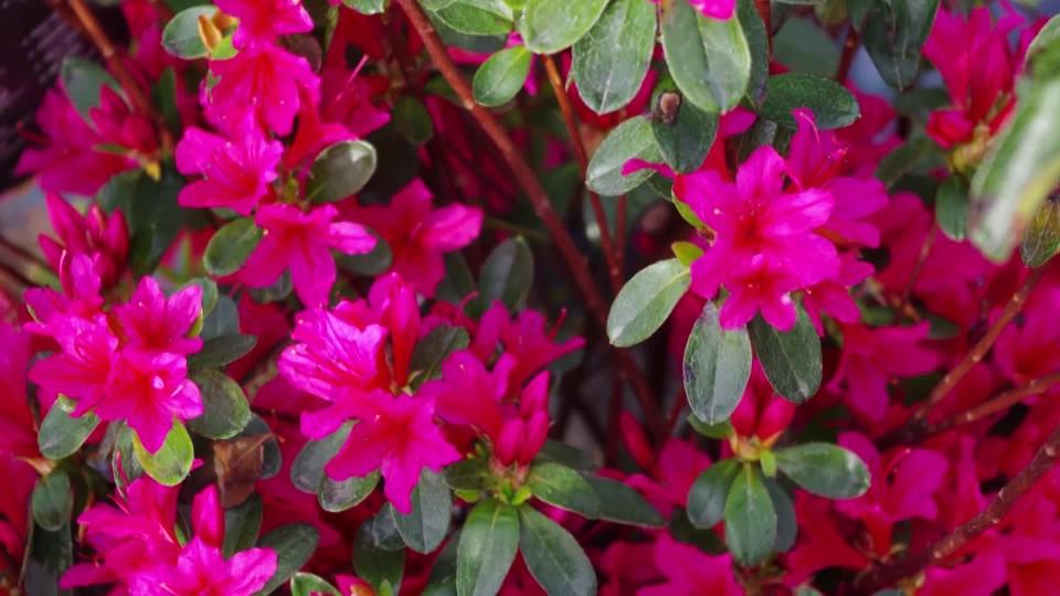 Příprava rododendronů na zimu