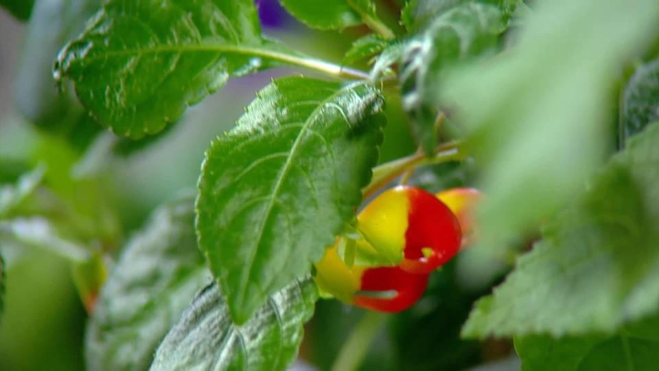 Rostliny našich babiček