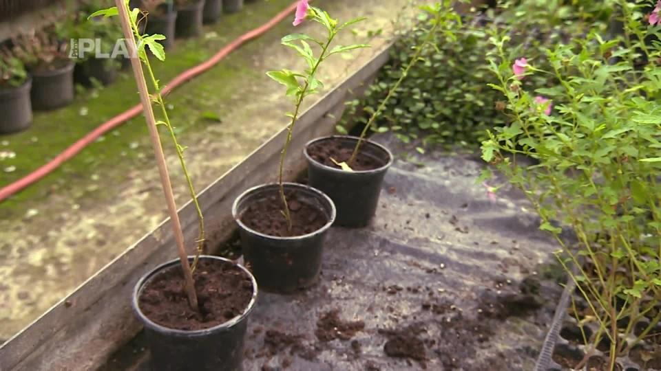 Muškáty pěstované na kmínku