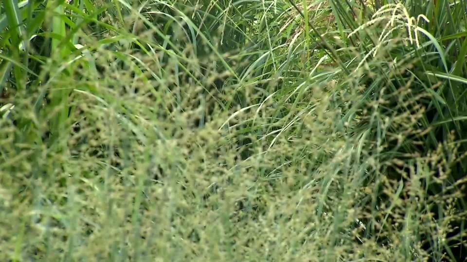 Jakou péči potřebují okrasné traviny na podzim