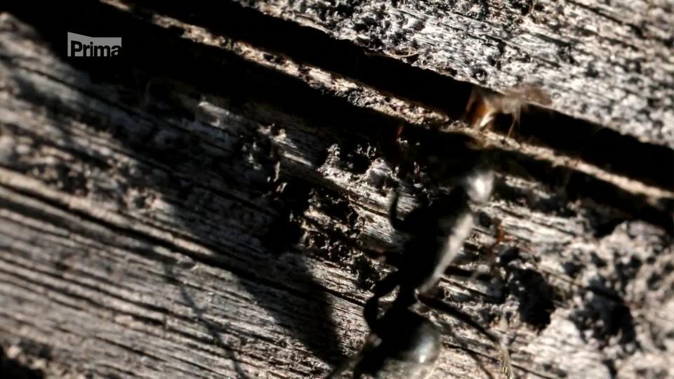 Mravenčí války