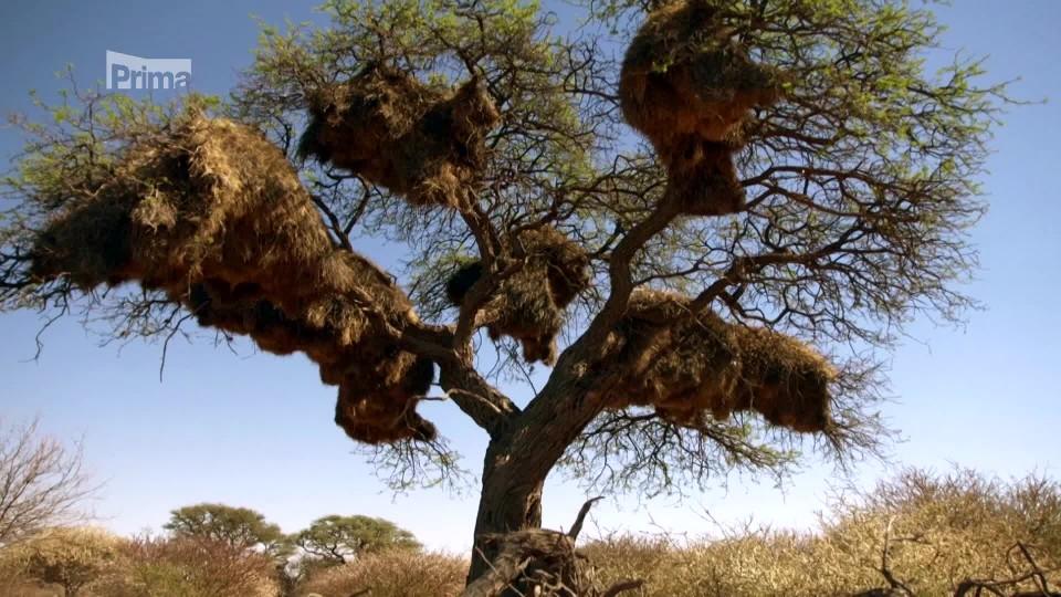 Africké životodárné stromy 2 - ve stínu akácie