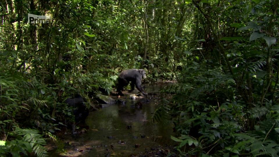 Lov 3 - tlupa šimpanzů na lovu gueréz