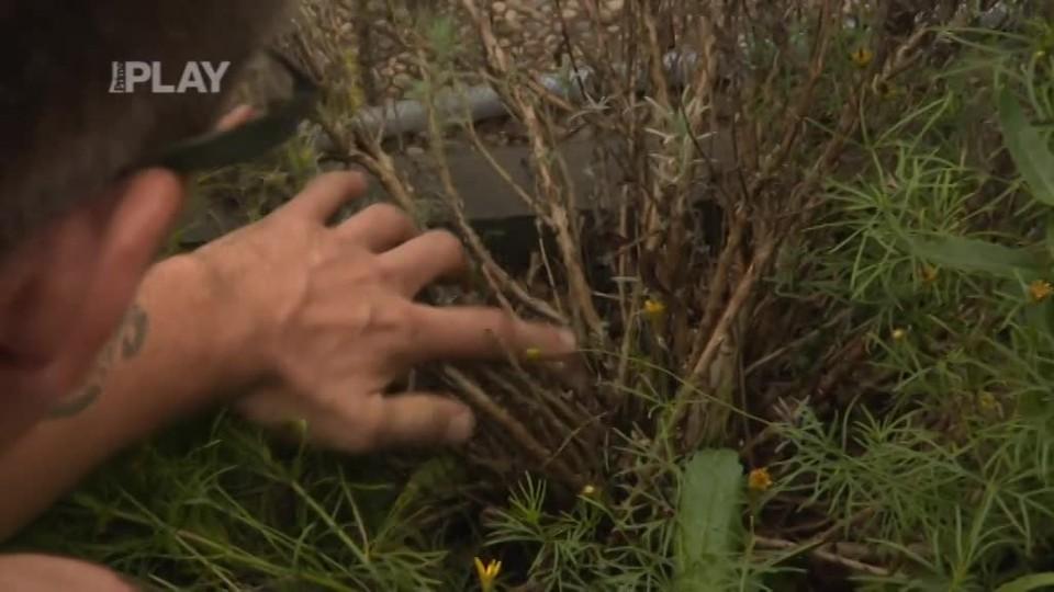 Co potřebuje levandule na podzim