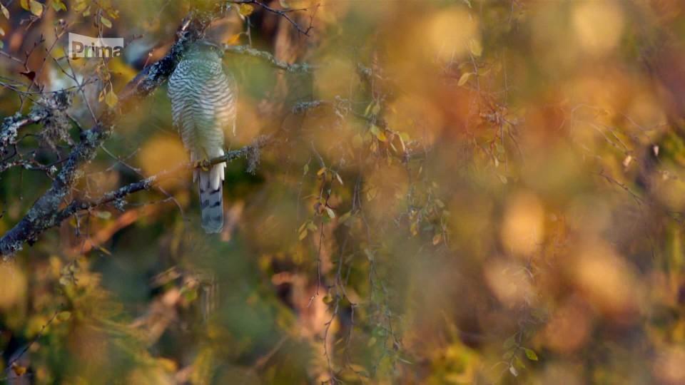 Lov 3 - krahujci se učí lovit na sojkách